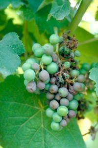 Le rot brun provoque desnotes de fruits cuits dans lesvins rouges causées par lamolécule gamma-nonalactone. ©P. CARTOLARO/INRA