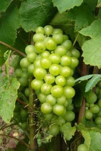 Actuellement au stade de la fermeture, les grappes sont peu nombreuses en Beaujolais. ©D.B.