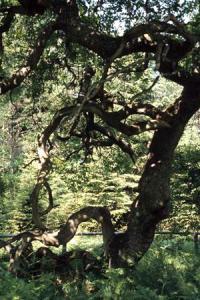 Les Faux de Verzy abritent une collection de hêtres tortueux remarquables.