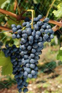 Divico, un cépage doté d'une résistance élevée au mildiou, à l'oïdium et à la pourriture grise.