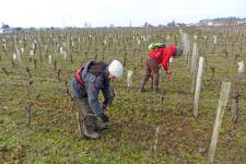 Les travaux à la vigne occasionnent des troubles et douleurs à faire valoir sur le compte pénibilité. ©M.CAILLON