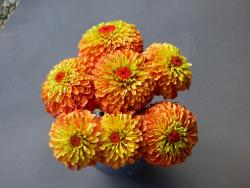 Zinnia elegans 'Queeny' Lime Orange Obtenteur: Hugo Dittmar (Suisse) ; distribué par Floragran (Pays-Bas)