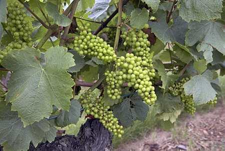 grappes de raisins blancs au stade fermeture de la grappe