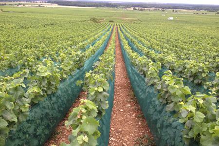 Le domaine Rossignol-Trapet, en Côte-d'Or, a installé des filets pare-grêle sur six rangs de vigne.