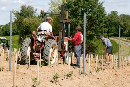 Restructuration du vignoble. Moins d'aide pour les vignes non palissées. © P. ROY