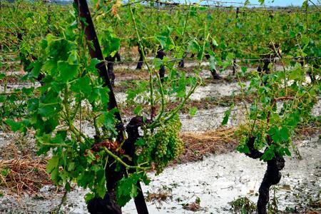 Deux secteurs ont été particulièrement touchés : le massif de la Malepère et le Minervois. Ici, à Olonzac, les vignes sont recouvertes d'un tapis de grêlons, parfois de la taille d'un œuf de pigeon. © C. Barreau/MaxPPP