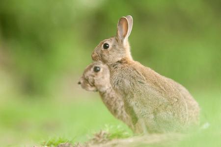 Des lapins se sont attaqués aux jeunes plants du château Haut-Chaigneau. © S. CHAMPION
