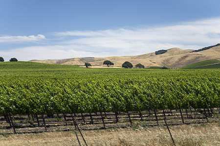 Le vignoble californien est tout particulièrement touché par la maladie de Pierce. © C. WATIER