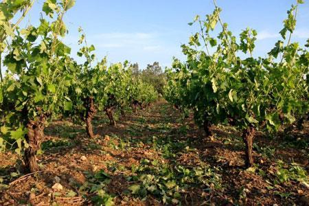 Au Domaine de l'Arbussele, à Fos, dans l'Hérault, plus d'un hectare de vigne a été « mâché »  par la grêle selon les mots du viticulteur. ©S. Louge/Domaine de l'Arbussele.