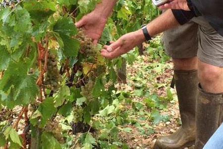 La grêle a durement frappé les grands crus de Chablis, le 1erseptembre.©Préfecture de l'Yonne