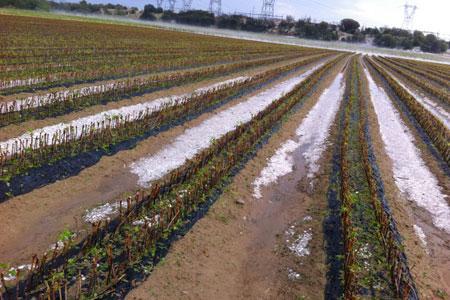 Aux pépinières Rey, la grêle a détruit 80 % des plants mis en terre.