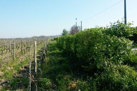 Les haies jouent l'effet d'une zone tampon lors des pulvérisations phytosanitaires, comme ici dans le vignoble de Saumur-Champigny. ©M.-A. SIMONNEAU