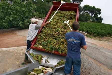 Dans leLanguedoc-Roussillon, larécolte n'est pas aussi généreuse qu'escomptée, notamment àcause de lasécheresse pré-estivale dans l'Aude et l'Hérault. ©P.PARROT