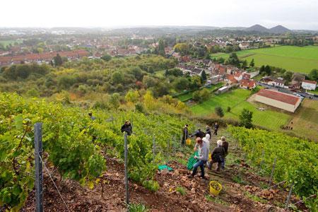 Les vignes plantées sur les terrils bénéficient du micro-climat de ces collines artificielles. ©J.BEN AZZOUZ/LA VOIX DU NORD/MaxPPP
