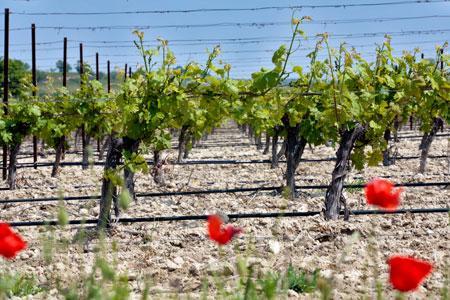 Le conseil des vins de FranceAgriMer a décidé la suppression du plafond pour l'aide à l'irrigation. ©P.PARROT