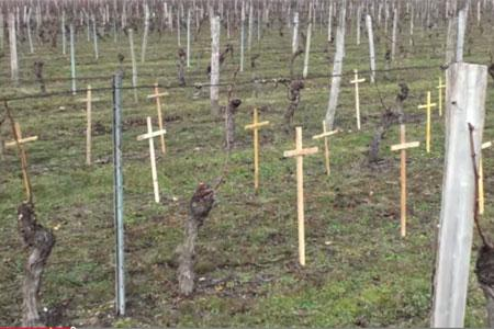 Philippe Boucard a filmé ses vignes décimées par les maladies du bois, comme un cimetière de ceps.