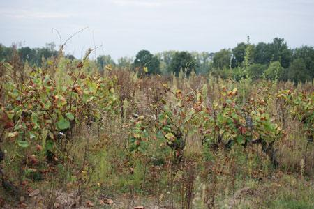 Les vignes abandonnées peuvent être des réservoirs de mildiou et d'oïdium.©P. TOUCHAIS