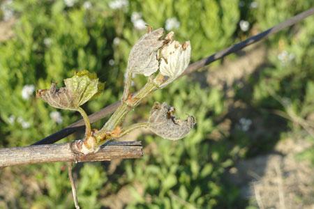 Cinq cents hectares de chardonnay ont souffert du gel pendant le week-end de Pâques. ©Chambre d'agriculture del'Aude