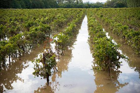 Les fortes pluies du 12 septembre ont provoqué les crues de l'Hérault et de la Lergue, inondant de nombreuses vignes. ©O.LEBARON