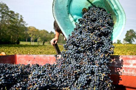 « Une récolte en forte hausse par rapport à celles exceptionnellement basses de 2012 et 2013 et des stocks réduits » expliqueraient la hausse du revenu des exploitations viticoles en 2014, selon les services statistiques. ©P.ROY