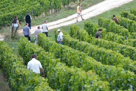 Les vignes devront faire l'objet d'une prospection exhaustive. ©C.MICHELIN