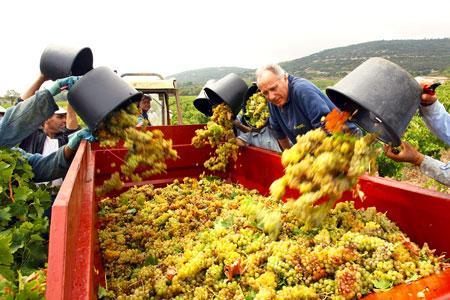 Le 25 août, la récolte des blancs a déjà commencé dans l'Hérault. ©P. PARROT