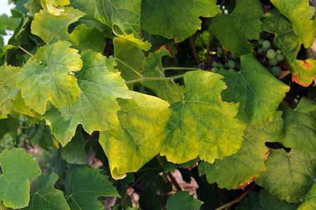 Des feuilles devignes atteintes par laflavescence dorée. ©J.-B.LAFFITTE