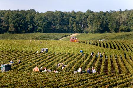 Vendanges en Champagne, dans la région de Bouzy (Marne). © C. THIRIET