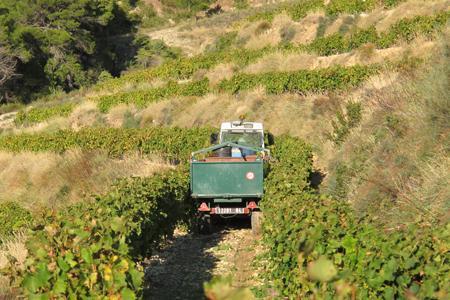 2010 avait été une petite récolte pour les côtes du Rhône. En 2013, la profession craint de rentrer encore moins de volume. ©A.AUTEXIER