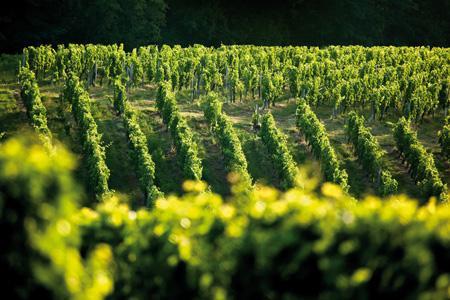 En dix ans, le paysage viticole bio aquitain s'est beaucoup modifié. © P. ROY