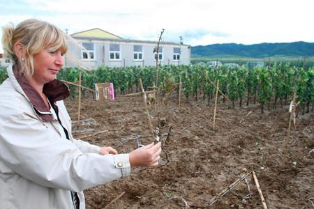 En 2010, une parcelle de vigne OGM expérimentale avait été détruite. ©J.-F. Frey/L'Alsace/MaxPPP