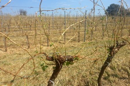 Certaines parcelles de vignes ont été détruites intégralement par les orages qui se sont abattus sur la Gironde le 2août. © V. Despagne/Vignobles Bernard Despagne