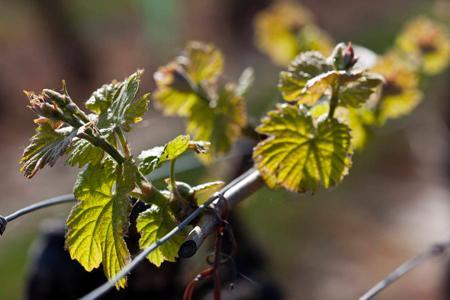 Dans les parcelles les plus précoces du Beaujolais, les vignes atteignent le stade six à sept feuilles étalées, notamment en chardonnays. © C. WATIER