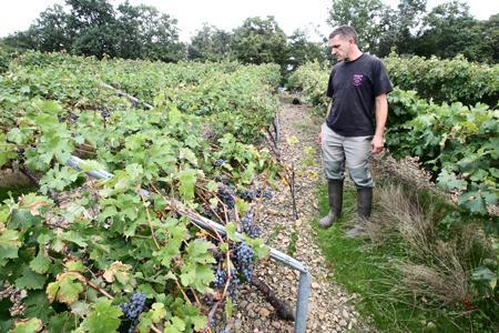 Les vignes d'Emmanuel Dubosc ont été pliées en deux par le souffle des pales d'un hélicoptère de l'armée. © P. BATAILLE/SUD-OUEST