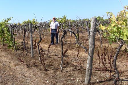 Selon le viticulteur Serge Guibert, les lapins ont dévoré l'écorce au bas de chaque cep, provoquant la mort de la vigne.