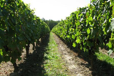 Etude : les racines de la vigne ne plongent pas plus avec l'enherbement © C. STEF