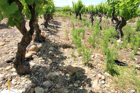 Parcelle de la commune de Fournès (Gard) où a été découvert le premier cas d'érigérons résistants au glyphosate. © SERVICE AGRONOMIQUE CAPL