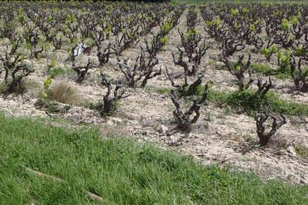 Côtes du Rhône : nouveau bilan du gel d'hiver. © SERVICE TECHNIQUE INTER-RHÔNE