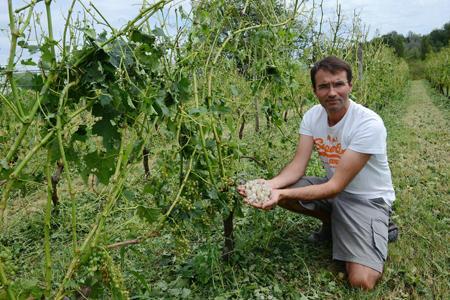 Dans le vignoble de Grézillac, Henri Féret montre les dégâts dans ses vignes endommagées à 100 %. © S. KLEIN/SUD-OUEST