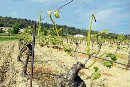 La grêle a ravagé 400 ha de vignes dans les Corbières. © C. BARREAU/MAXPPP