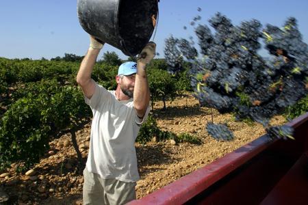 Inter Rhône annonce une récolte prometteuse en vallée du Rhône. Les rouges devraient être vendangés à partir du 10 septembre. ©P.PARROT