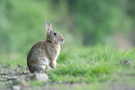 Des lapins avaient ravagé les vignes de Serge Guibert durant l'hiver 2010-2011. ©S. CHAMPION