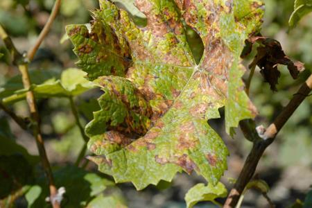 Une feuille de vigne portant les signes du mildiou mosaïque. ©P. CRAPON/GFA
