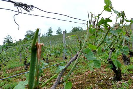 Le vent et la grêle ont sectionné les vignes du Châtillonnais, en Bourgogne, le 19 juin. © C. SUCHAUT/CA CÔTE-D'OR