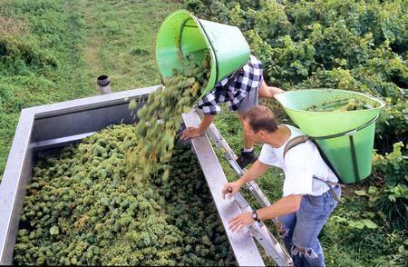 Le vignoble du Muscadet espère 445000hl pour la récolte 2015. ©W.GUYOT