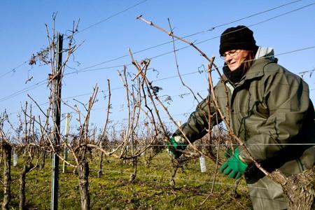 Des chercheurs de la station suisse Agroscope Changins-Wädenswil viennent de détecter une soixantaine de molécules toxiques pour le mildiou, l'oïdium et la pourriture grise dans des sarments de vignes aoûtés. © P. ROY