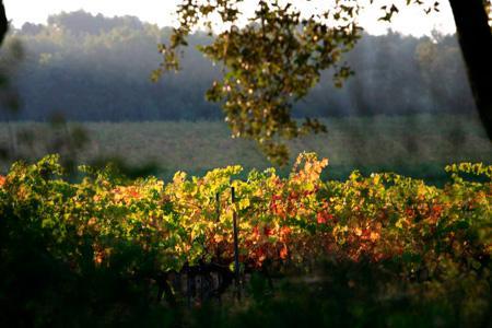 «Ce n'est pas tout le vignoble qui a produit plus, mais uniquement certaines parcelles plantées de vignes jeunes», a précisé l'ODG côtes de Provence. © J. NICOLAS