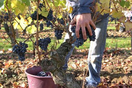 Les producteurs saumurois ne veulent pas perdre de volumes cette année après la petite récolte de 2012. © P. TOUCHAIS