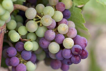 Le mois de juillet a rimé avec véraison pour la quasi-totalité du vignoble. ©C.WATIER