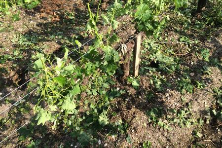 Vignes dévastées au matin du 9juin au château Hourbanon, très touché par les intempéries, dans le nord-est du Médoc. ©CHATEAUHOURBANON
